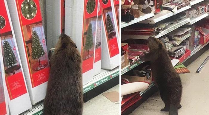 Ez a hód bement a szupermarketbe, hogy tönkretegye a karácsonyt