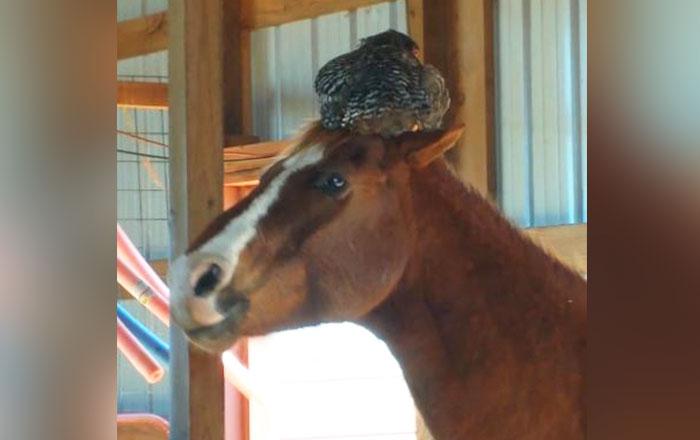 Nem bírta abbahagyni a röhögést a nő, mikor meglátta mi van a lova fején
