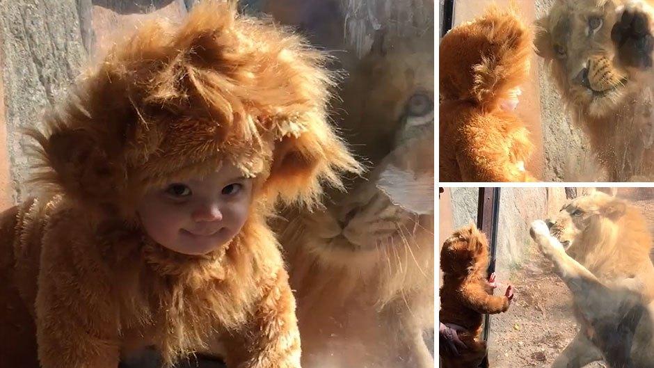 Ez történt, mikor a kisoroszlánnak öltözött fiú találkozott egy igazi oroszlánnal