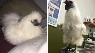 Ismerd meg Charlie-t, a csirkét, aki valójában egy tollas kutya