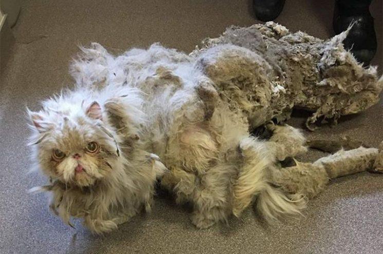 Elképesztő átalakuláson ment át az elhanyagolt perzsa cica