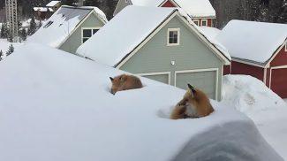 Mit tennél, ha két róka látványára ébrednél egy téli reggelen?