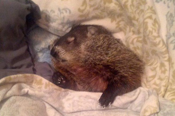 Megmentőihez bújva szeret aludni a látássérült cuki mormota