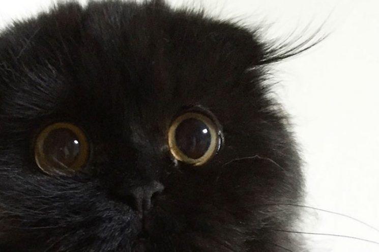 Ismerd meg a cicát, aki úgy néz ki, mint egy fekete pompon