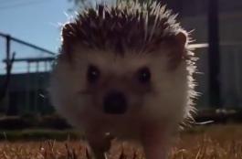 Lassított felvételen futó süni a hét legcukibb videójában