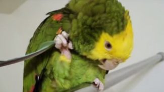 Saját tollával vakargatja fejét a leleményes papagáj