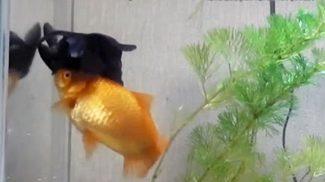 Aranyhal barátja segít életben maradnia a sérült halacskának, aki túl beteg az úszáshoz és az evéshez is