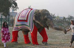Óriási kötött ruhákat kaptak a megmentett elefántok Indiában a hideg miatt