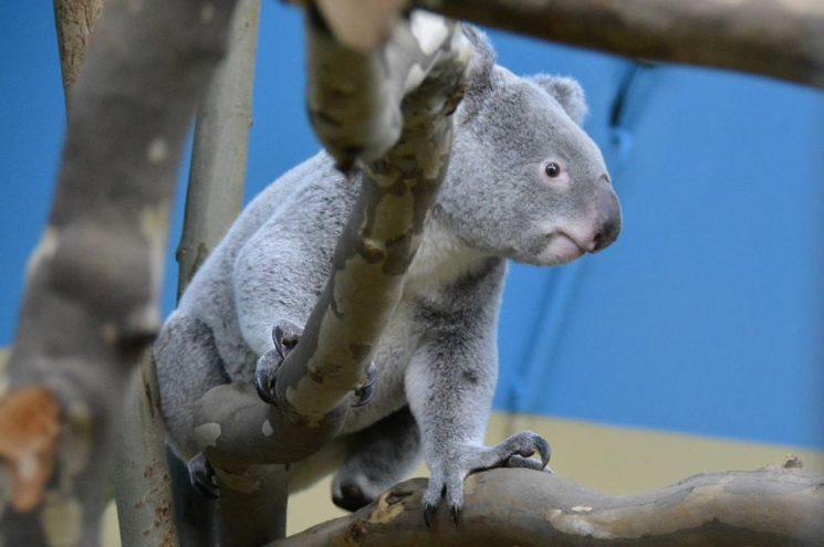 Elhunyt Vobara, a Fővárosi Állatkert egyik koalája