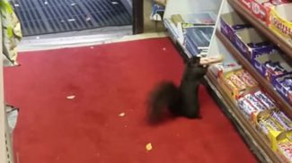 Öt éven át észrevétlen maradt a világ legprofibb betörője: egy mókus