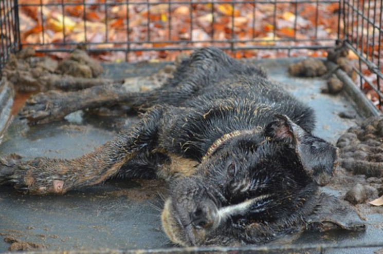 Egy gödör mélyén találták az élettelen kutyát, aki csodálatos módon túlélte a megpróbáltatásokat