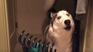 Ez a husky nem tudja mire vélni a hajcsatot