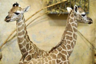 Baby boom a Fővárosi Állatkert zsiráfjainál