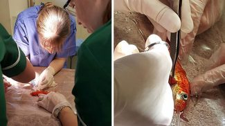 250 dollárt fizetett a család, hogy műtéttel mentsék meg 20 éves aranyhaluk életét