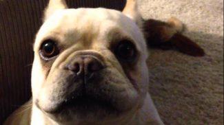 Beszélő francia bulldog próbál választ adni az élet nagy kérdéseire