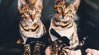 Ez a két gyönyörű bengáli cica az internet új kedvenc párosa