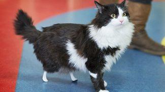 Új esélyt kapott az élettől a cica, aki műlábakkal kergeti az egereket
