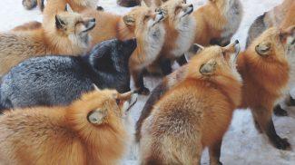 Azonnal a bakancslistádra kerül majd, ha meglátod ezeket a fotókat a japán rókafaluról