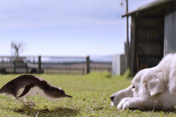Az egész internet a juhászkutyát gyászolja, aki megmentett egy egész pingvinkolóniát
