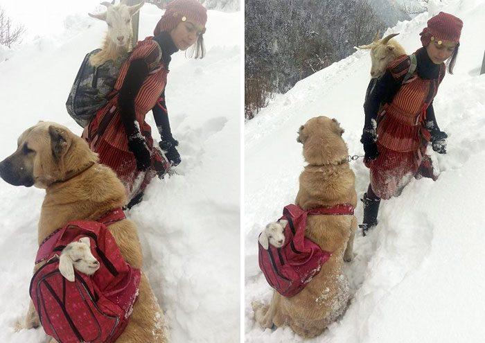 Hátizsákban vitte le a hegyről az újszülött gidát és mamáját ez a bátor lány