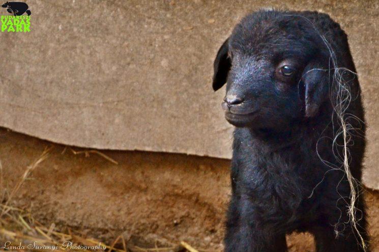 Tündéri fekete bárány született a Budakeszi Vadasparkban