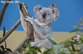 Veszélyben forog a Budapesti Állatkert egyetlen koalájának élete