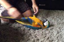 Ez a gyönyörű papagáj éppen úgy élvezi a hasvakargatást, akár egy kutyus