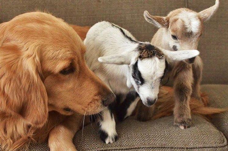 Sajátjaként szereti az árván maradt kecskéket ez az imádnivaló kutyus