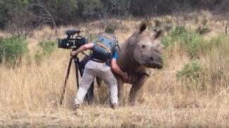 Vészjóslóan közeledett a férfi felé ez az orrszarvú, pedig csak egy kis szeretetre volt szüksége
