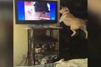 Teljesen bepörög ez a kutyus, ha más ebeket lát a tévében