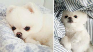 Plüssállatnak is túl cuki az Instagram kedvenc kutyusa