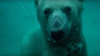Birtokba vették a budapesti jegesmedvék új medencéjüket