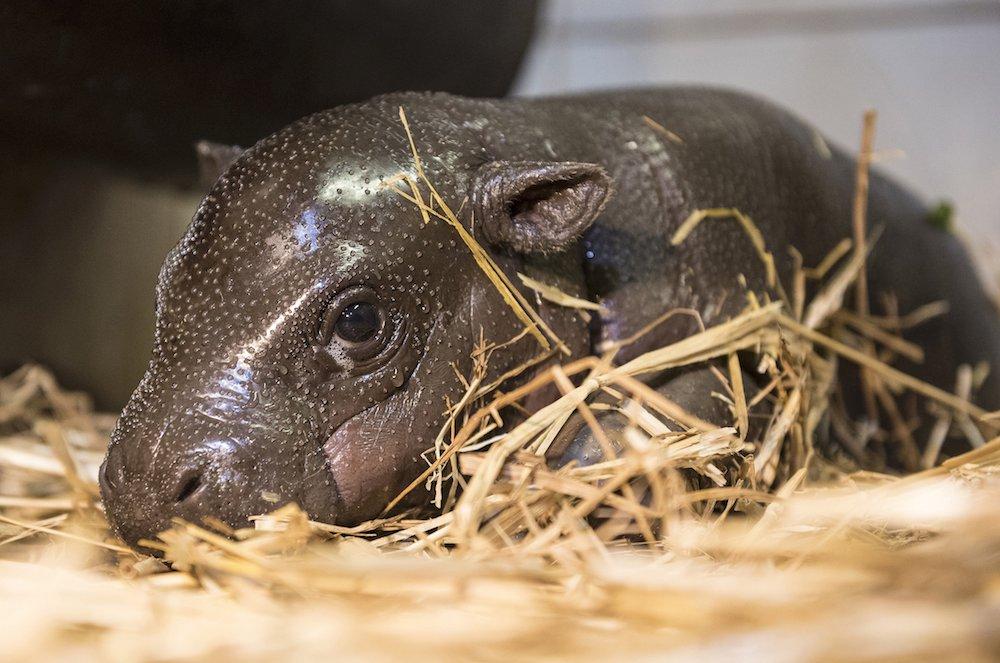 Törpevíziló született a Nyíregyházi Állatparkban