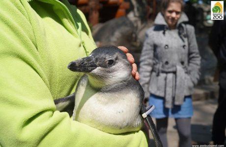 Ismerd meg a Fővárosi Állatkert pingvinfiókáját!