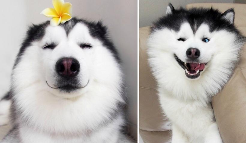 Ő itt Maru, a világ legboldogabb huskyja