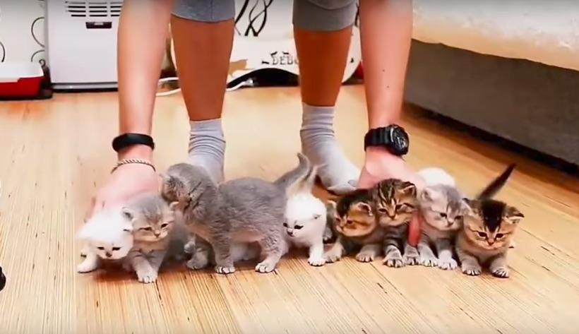 Lehetetlen a küldetés, de ez a gazdi mégis megpróbálja sorba rendezni a kiscicákat