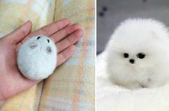 Seperc alatt elolvadsz ezektől a tökéletesen gömbölyű állatkáktól