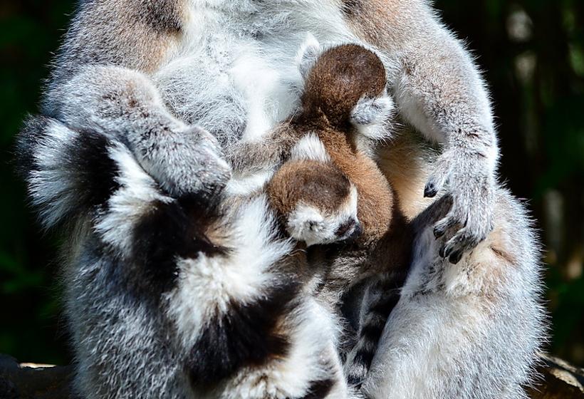Makikölykök születtek a Miskolci Állatkertben