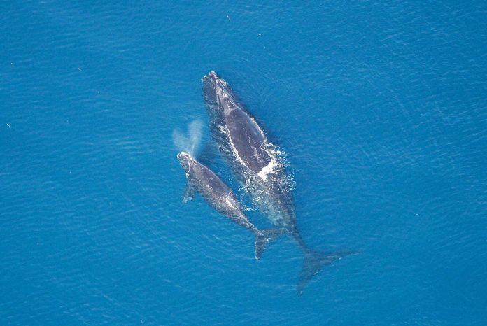 púpos bálna fogyás)
