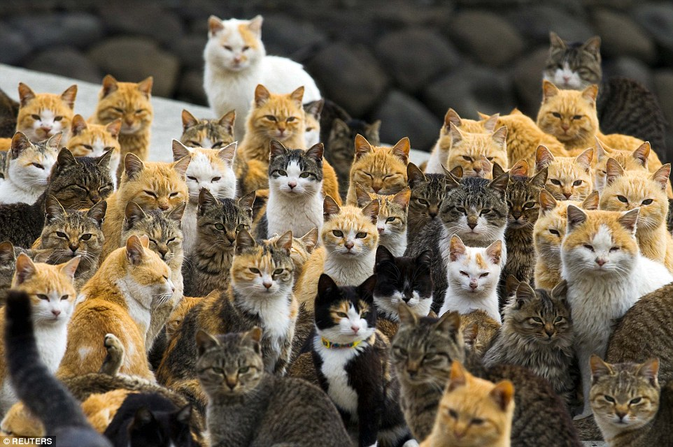 macska, macskák