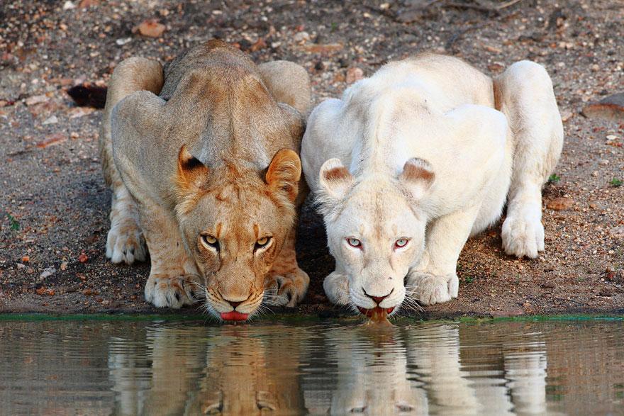 oroszlán, fehér oroszlán