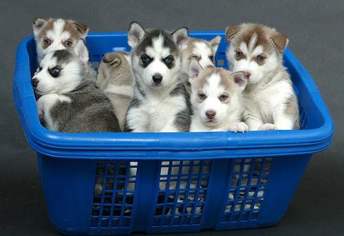 huskie, kutya, kutyák