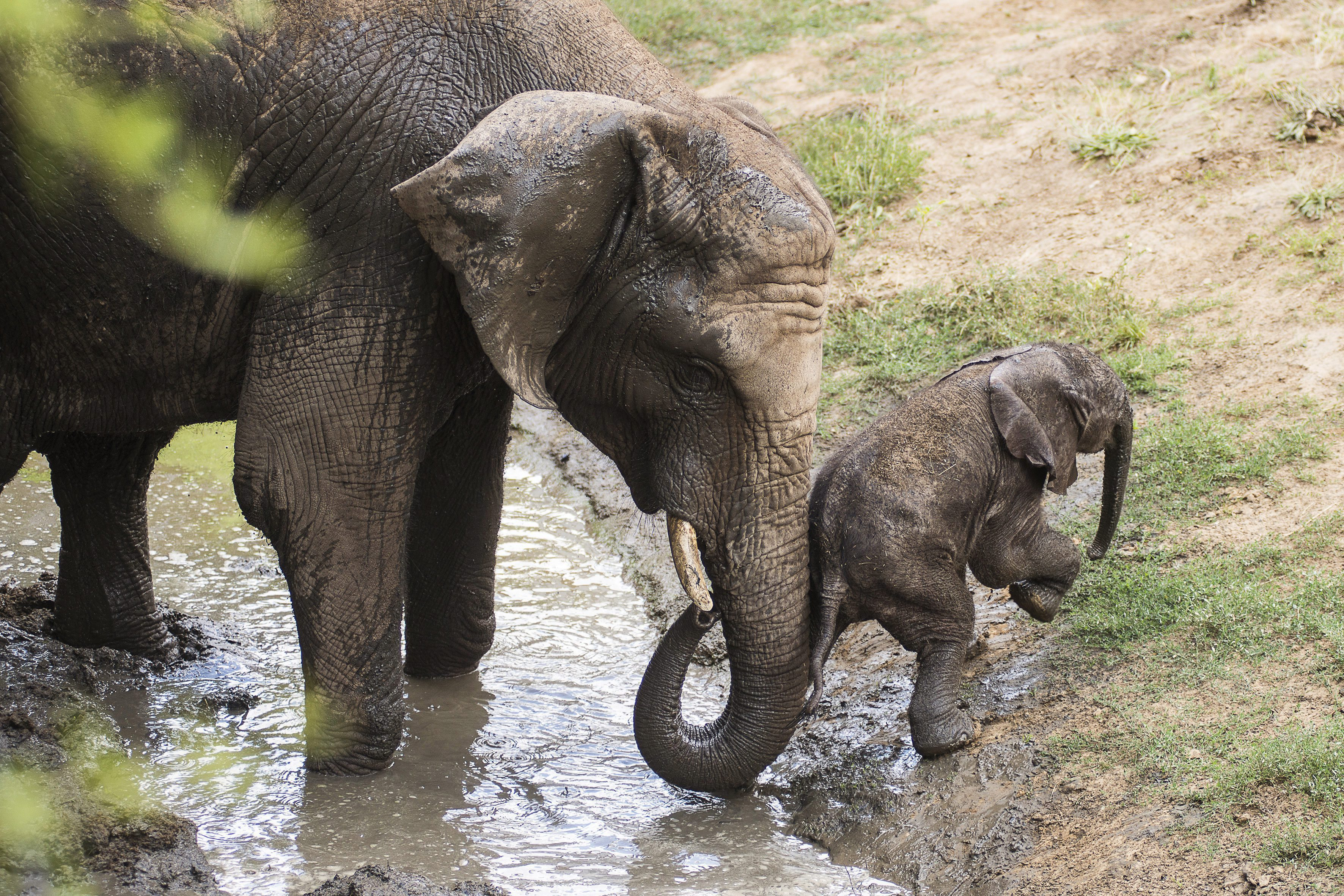 afrikai elefánt, elefánt bébi