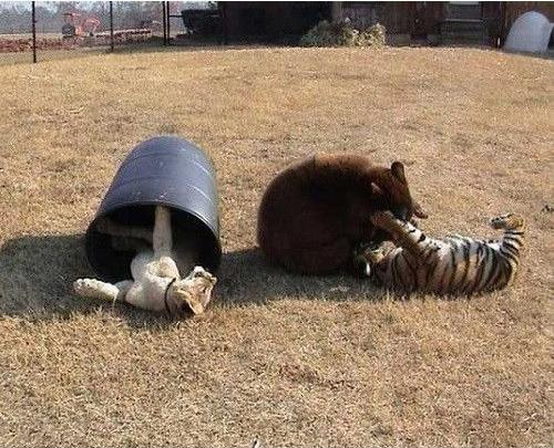 tigris, medve