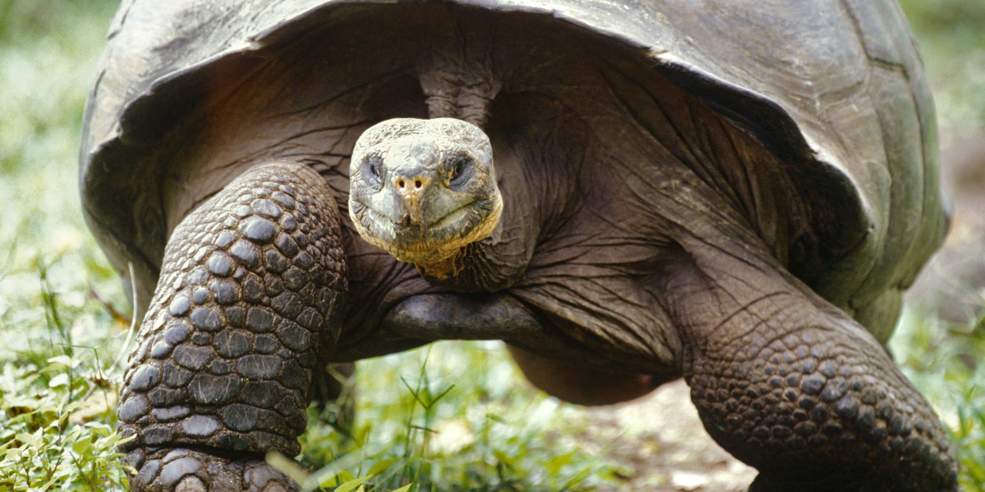 óriás teknős, teknős